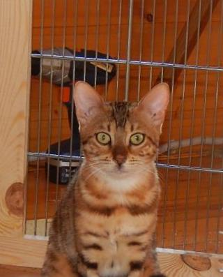 are bengal cats good indoor cats